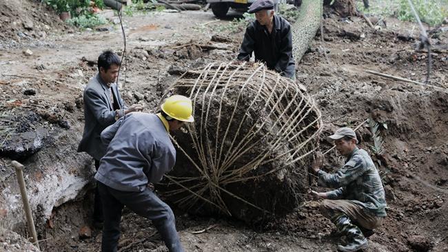 手机亚博体育下载临江棚改项目 树木移栽